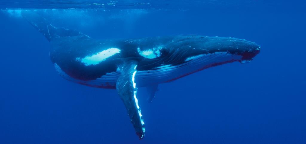 Ocean spirit humpback - Copy
